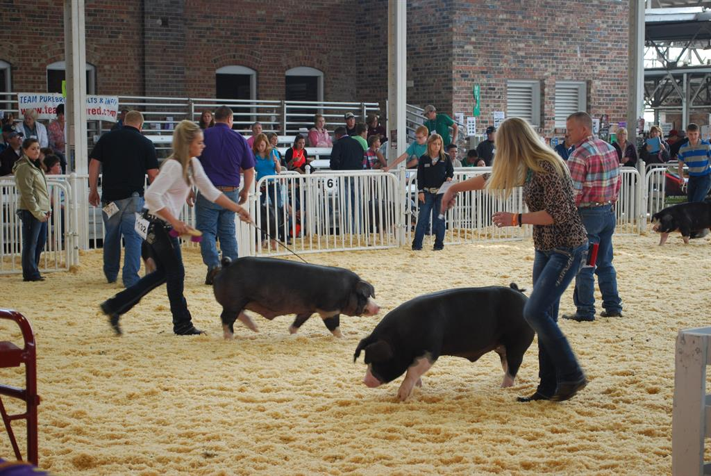 National Pork Board, World Pork Expo, Team Purebred, Show Pigs
